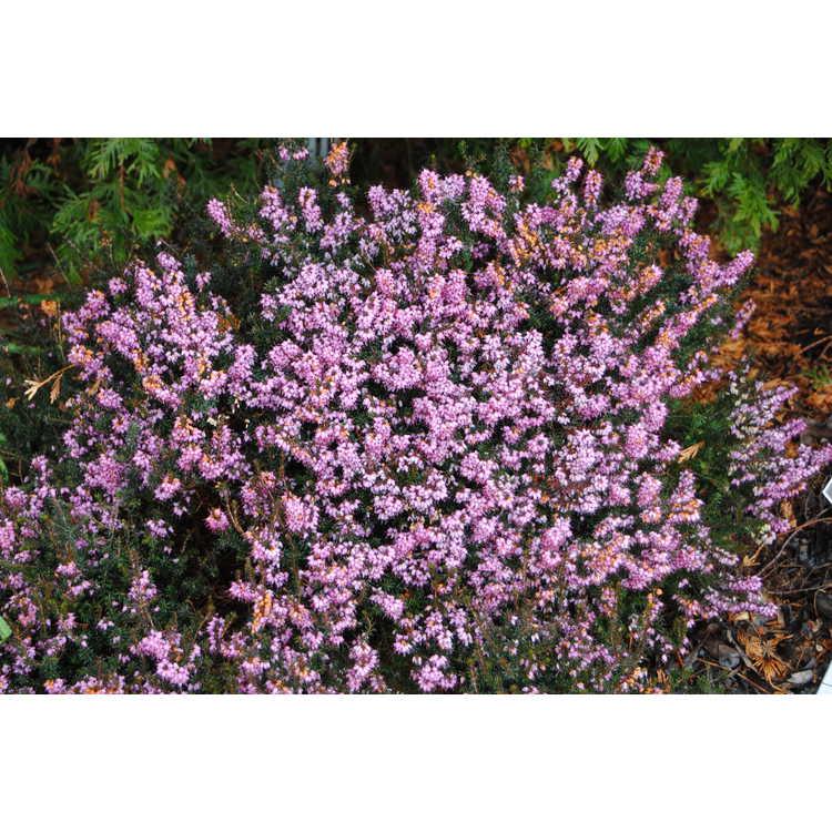 Erica darleyensis Furzey