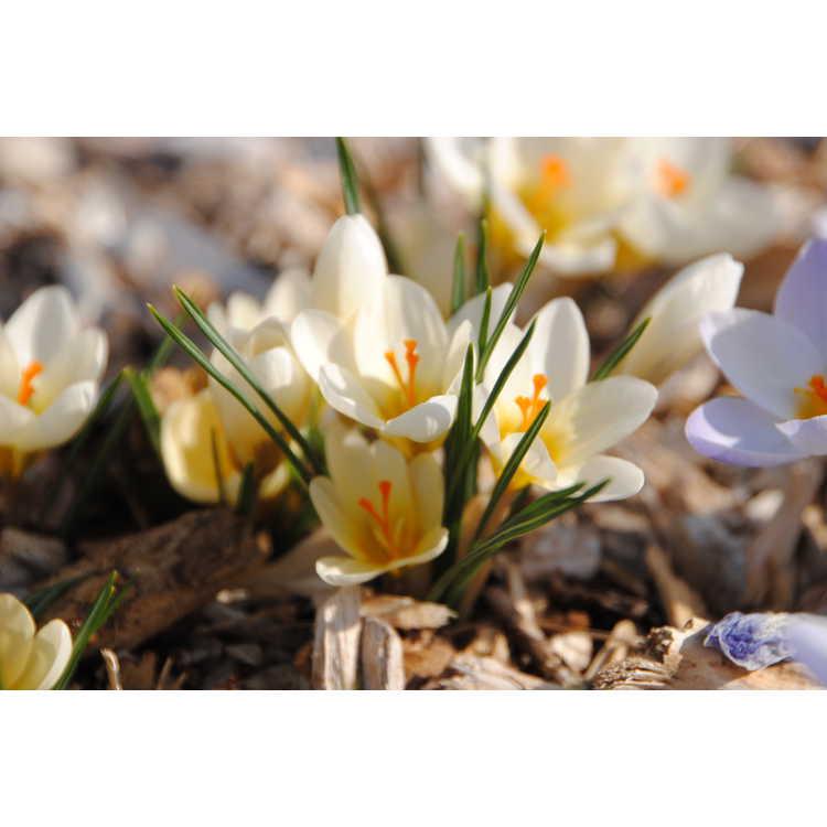 Crocus chrysanthus 'Cream Beauty' - spring crocus