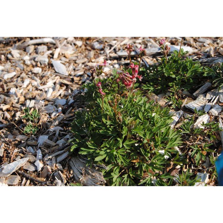 Corydalis solida 'George P. Baker' - fumewort