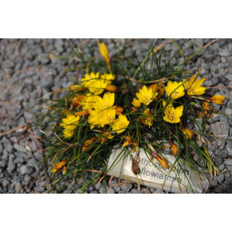 Nothoscordum sellowianum - false yellow crocus