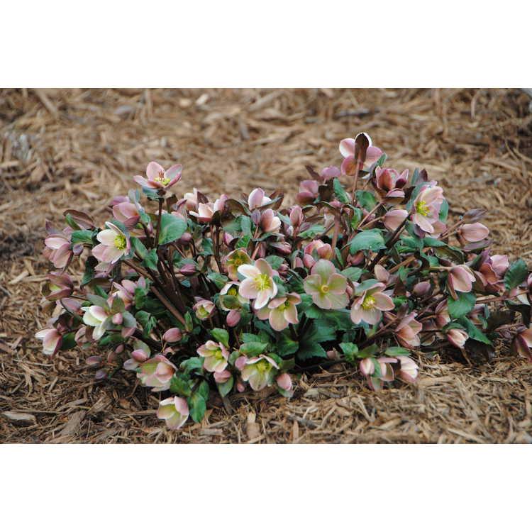 Helleborus ×ericsmithii 'Pirouette'