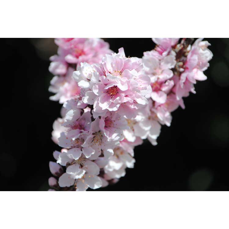 Prunus persica 'Bonfire'