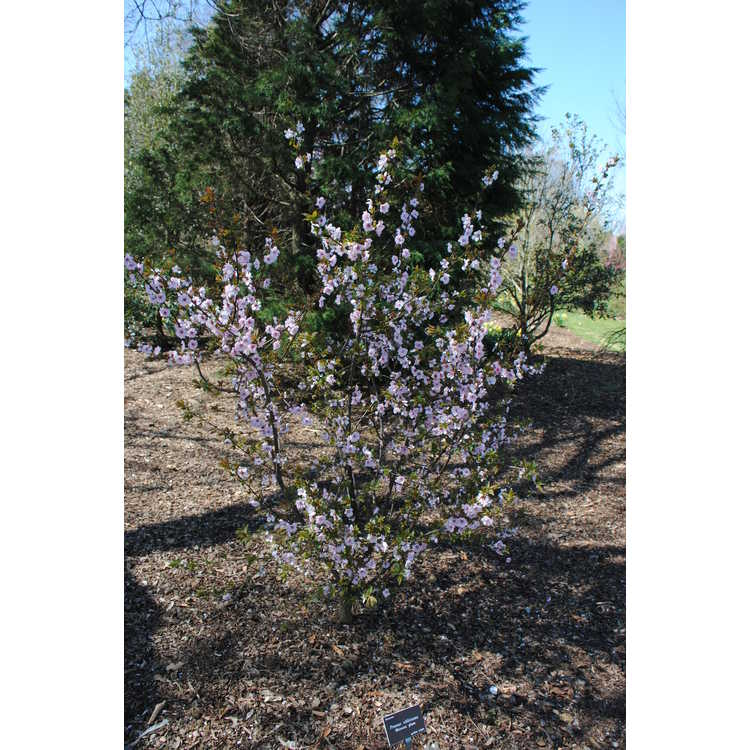 Prunus blireana