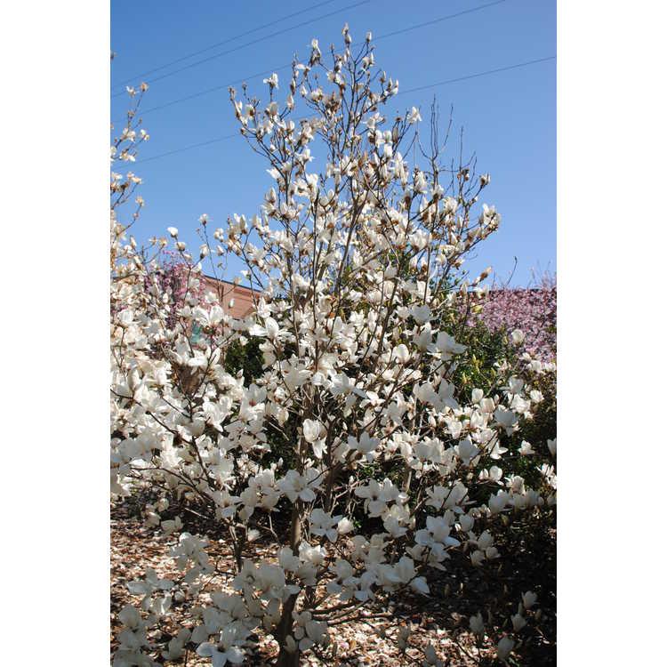 Magnolia Anticipation