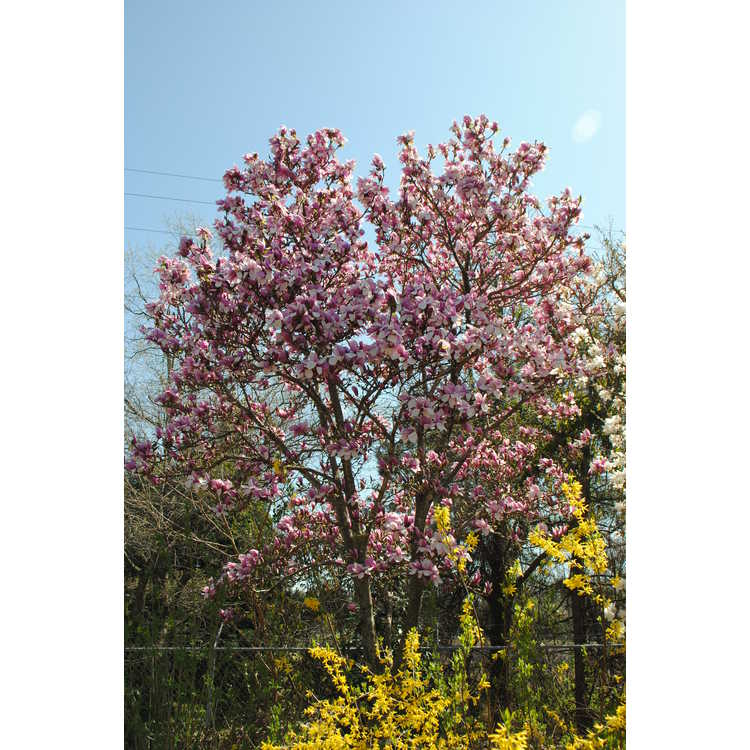 Magnolia ×soulangeana 'Verbanica'