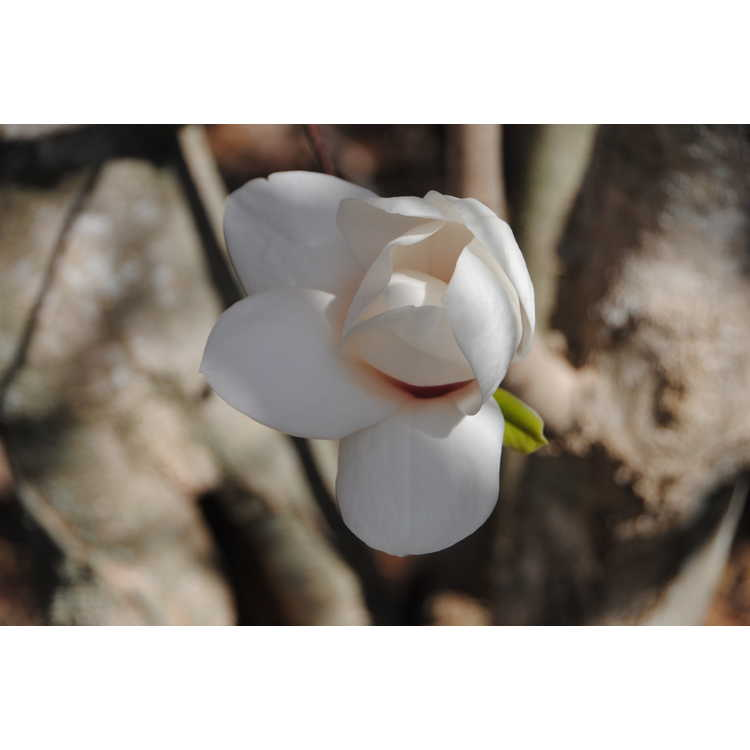Magnolia 'Winelight' - Gresham hybrid magnolia