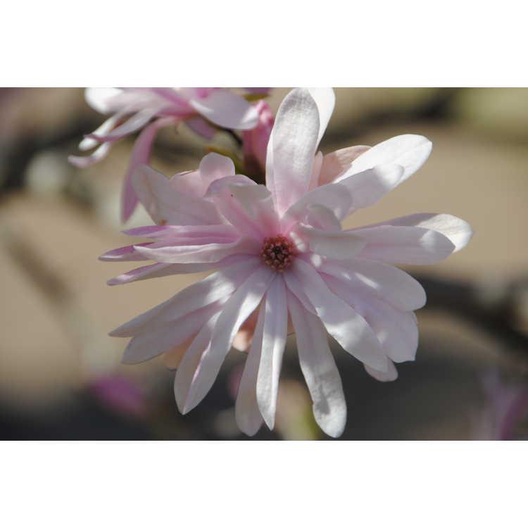 Magnolia stellata 'Chrysanthemumiflora' - many-petalled star magnolia