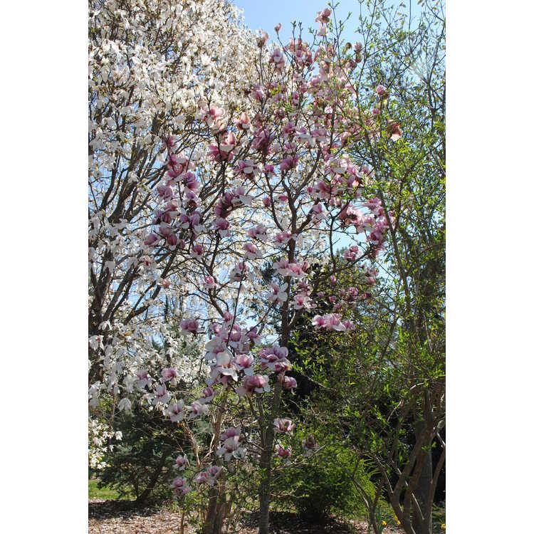 Magnolia ×soulangeana 'Opal' - hybrid magnolia