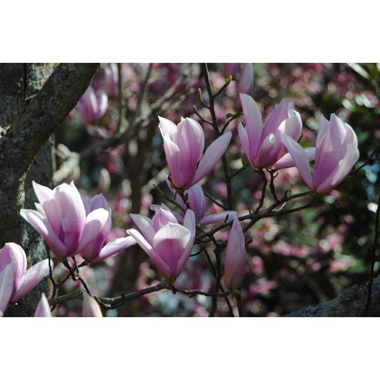 Magnolia 'Peppermint Stick' - Gresham hybrid magnolia