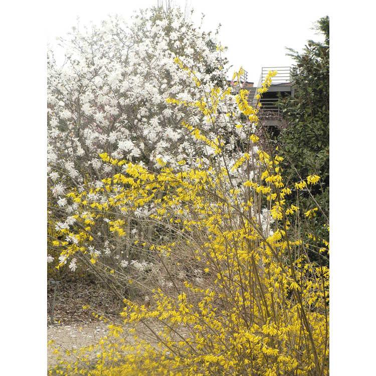 Forsythia 'New Hampshire Gold'