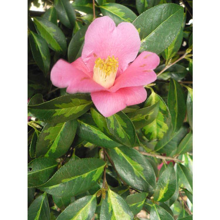 Camellia ×williamsii 'Golden Spangles' - variegated Williamsii camellia