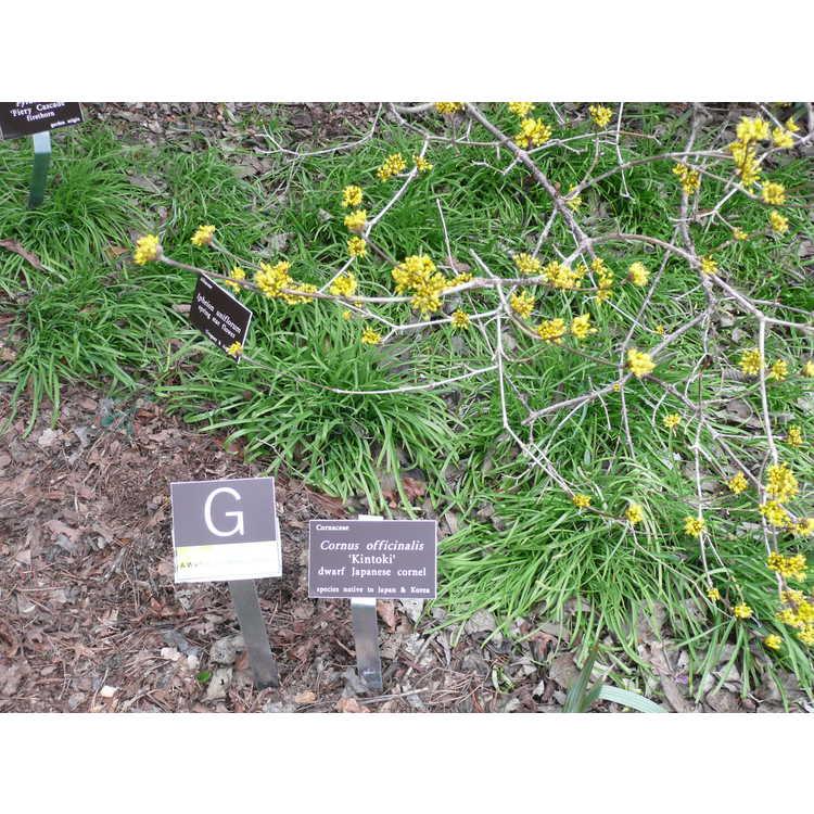 Cornus officinalis 'Kintoki' - dwarf Japanese cornel
