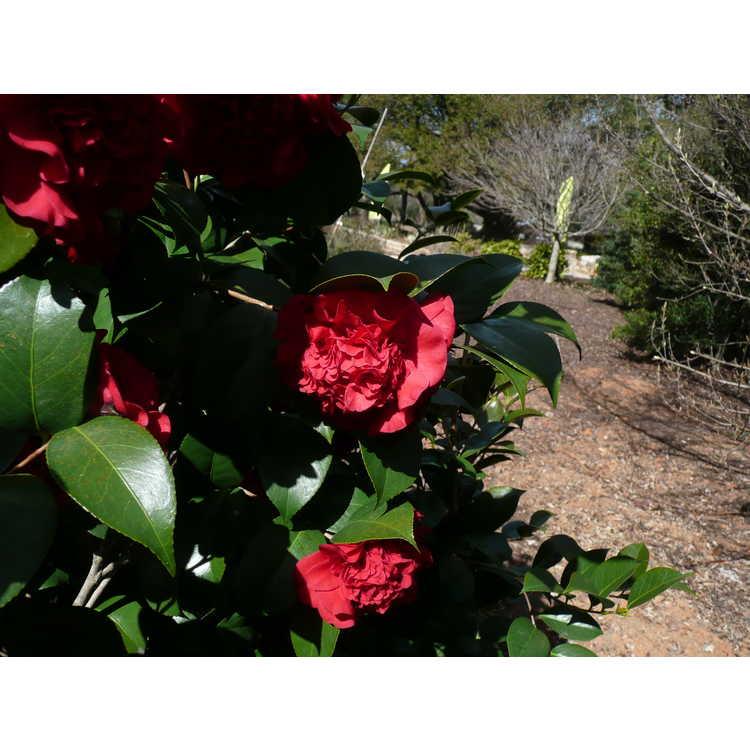 Camellia japonica 'Professor Sargent' - Japanese camellia