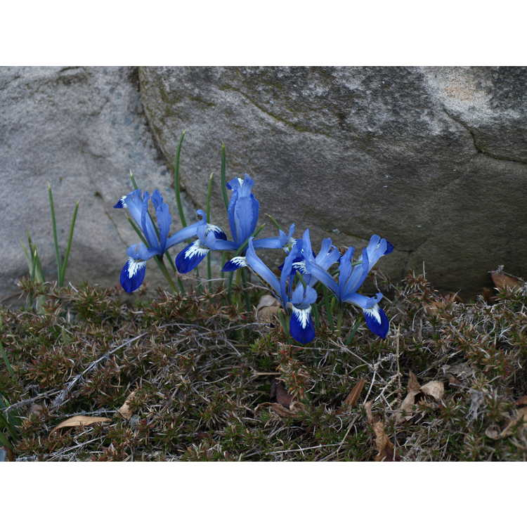 Iris [Reticulata Group] 'Spring Time'