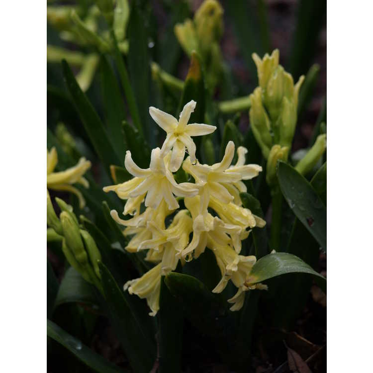 Hyacinthus orientalis 'Yellow Queen' - common hyacinth