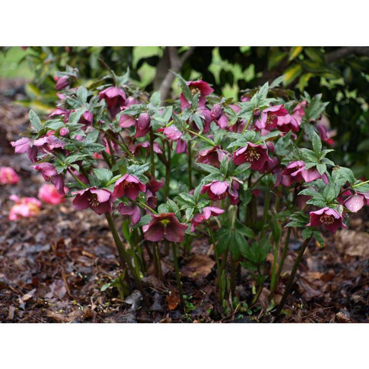 Helleborus ×hybridus (Ashwood Garden hybrids)
