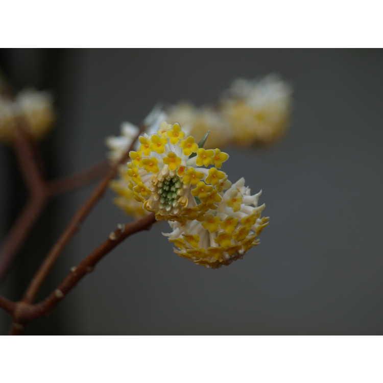 Edgeworthia papyrifera (ex. 'Eco Yaku') - paperbush