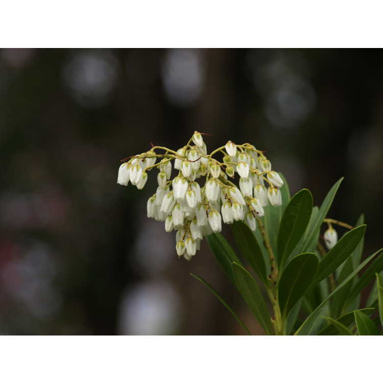 Pieris japonica Polita Group - Chinese pieris