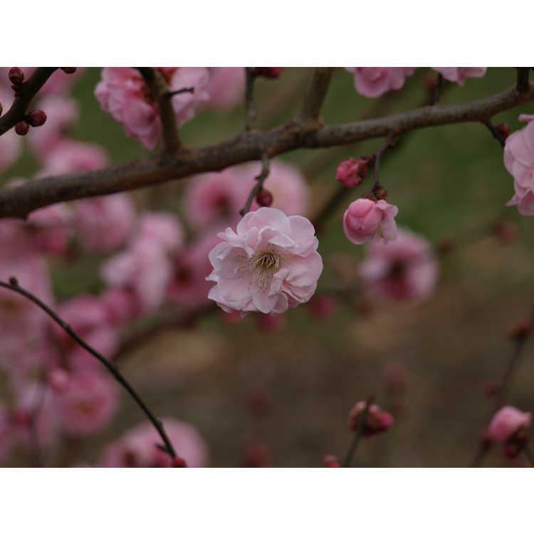 Prunus mume 'Dawn' - Japanese flowering apricot