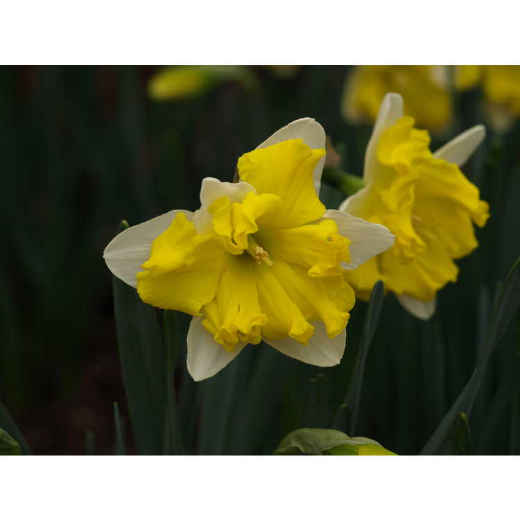 Narcissus 'Belcanto' - collar daffodil