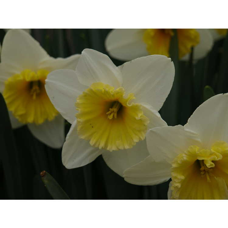 Narcissus 'Slim Whitman' - large-cupped daffodil