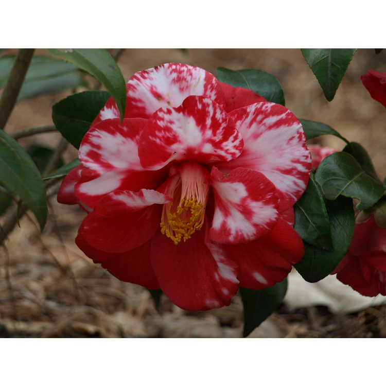 Camellia japonica 'Ville de Nantes' - Japanese camellia