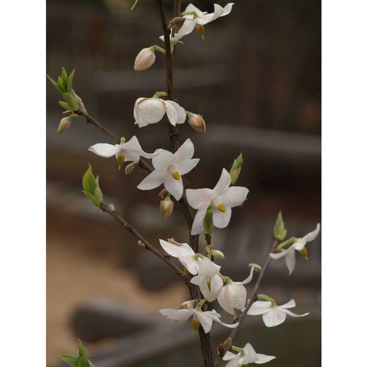 Melliodendron xylocarpum - Chinese parasol storax