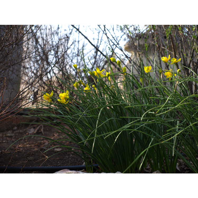 Narcissus jonquilla 'Flore Pleno'