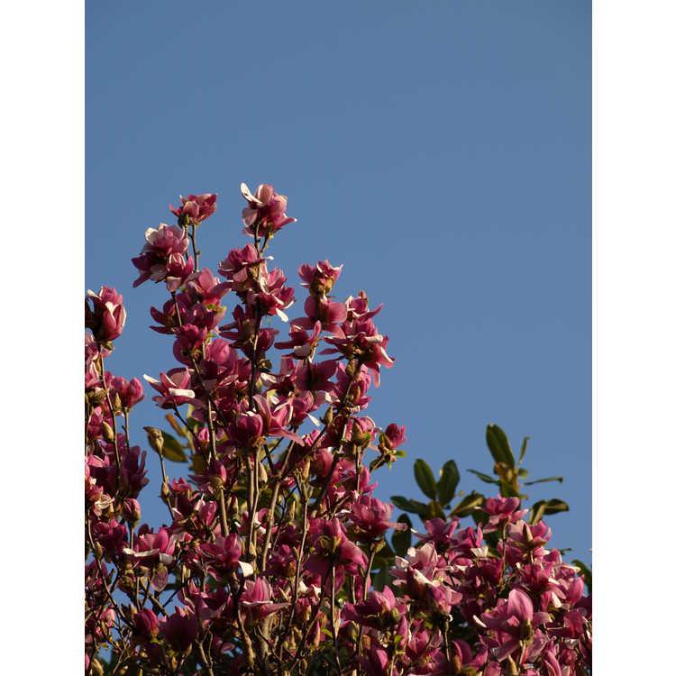 Magnolia soulangeana Coates