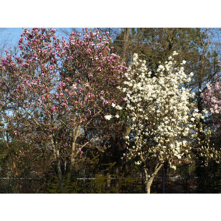 Magnolia Pristine