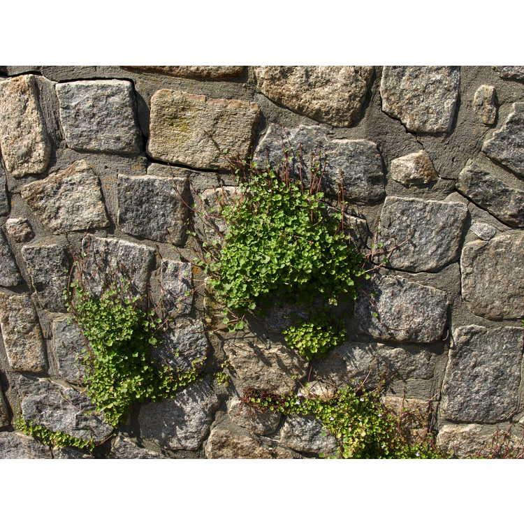 Cymbalaria muralis - Kenilworth ivy
