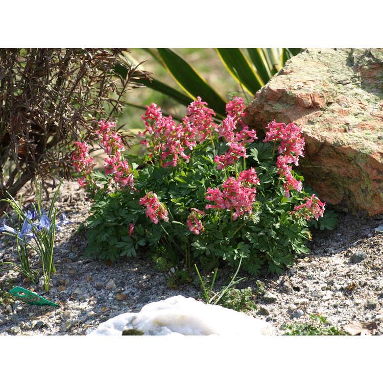 Corydalis solida 'Beth Evans' - fumewort