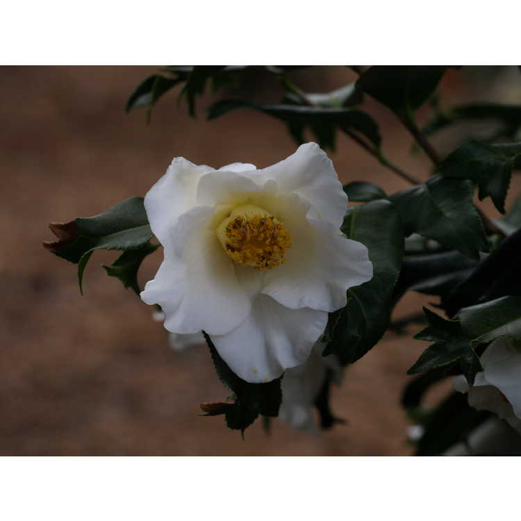 Camellia japonica (fishtail, white w/ red stripes) - fish-tail Japanese camellia