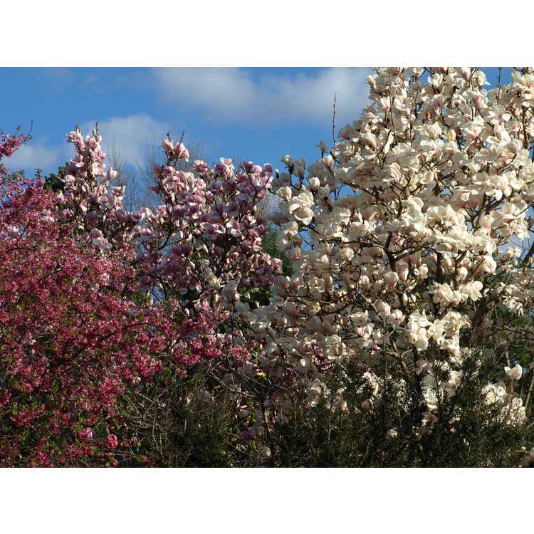 Prunus NA 63480
