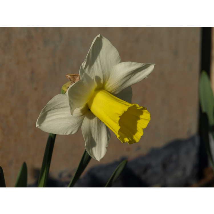 Narcissus 'Bravoure'