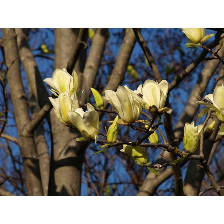 Magnolia 'Legend'