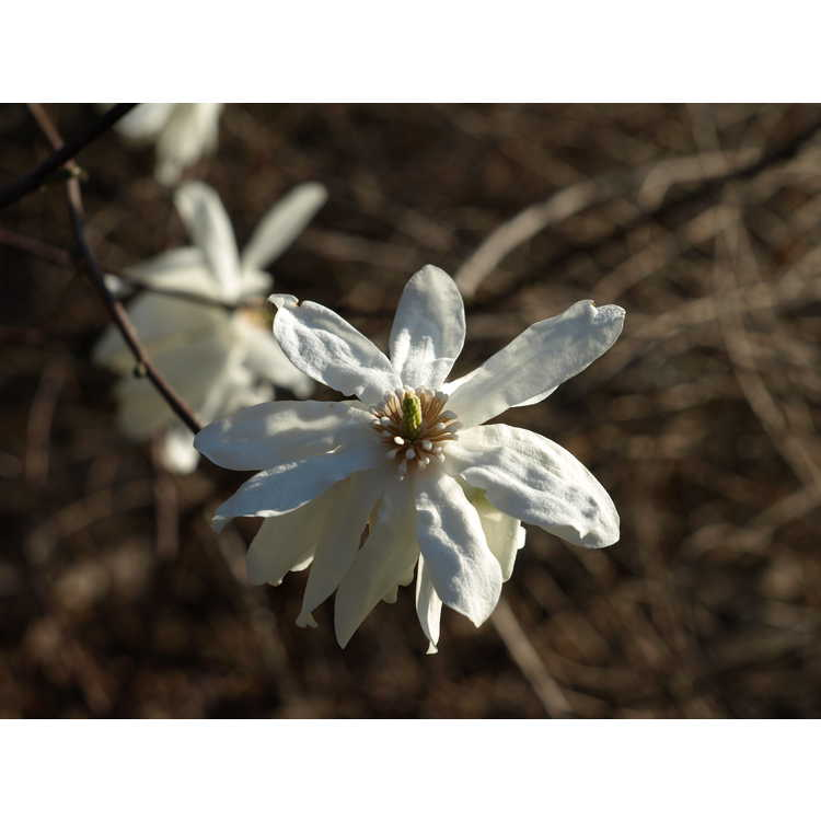 Magnolia stellata 'Scented Silver' - star magnolia
