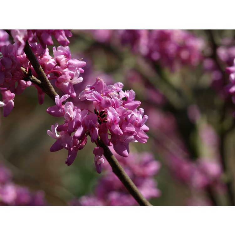 Cercis chingii - Ching's redbud