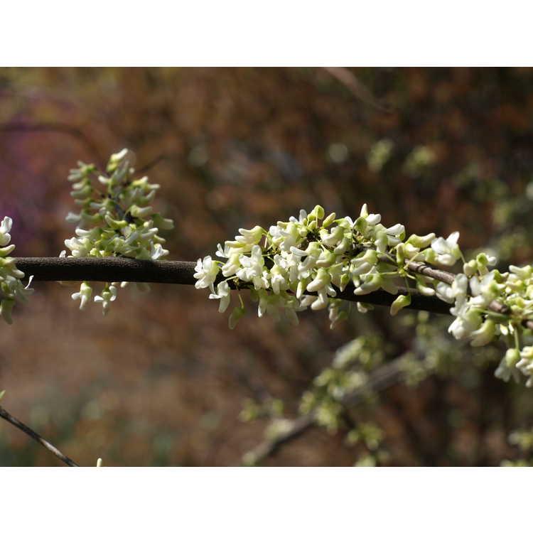 Cercis canadensis 'Dwarf White' - white eastern redbud