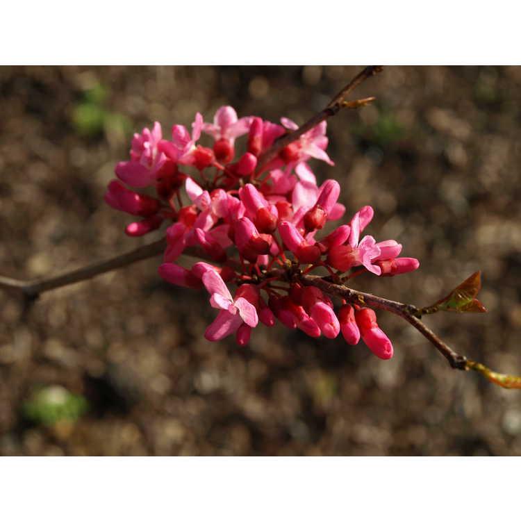 Cercis chinensis 'Shibamichi Red' - red Chinese redbud