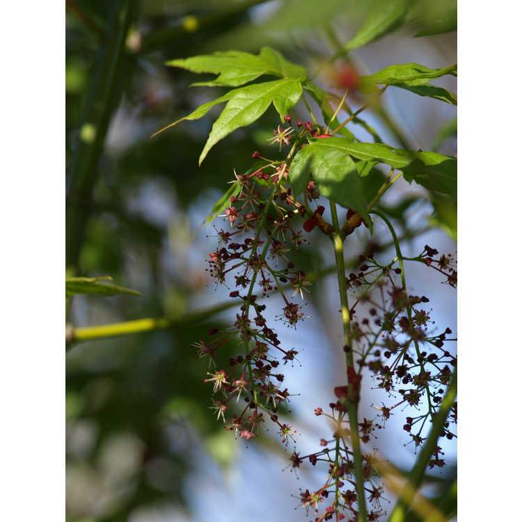 Acer elegantulum - elegant maple