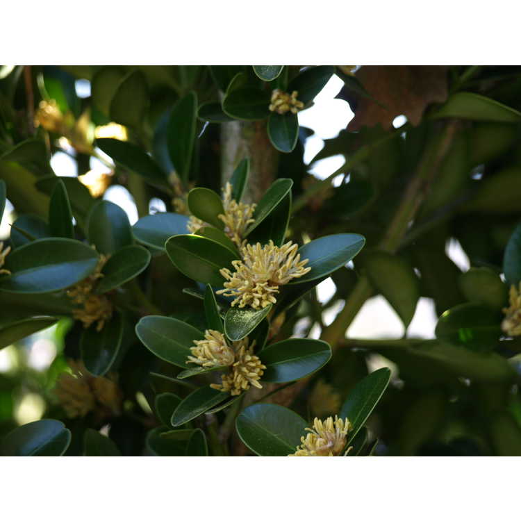 Buxus wallichiana - Himalayan boxwood