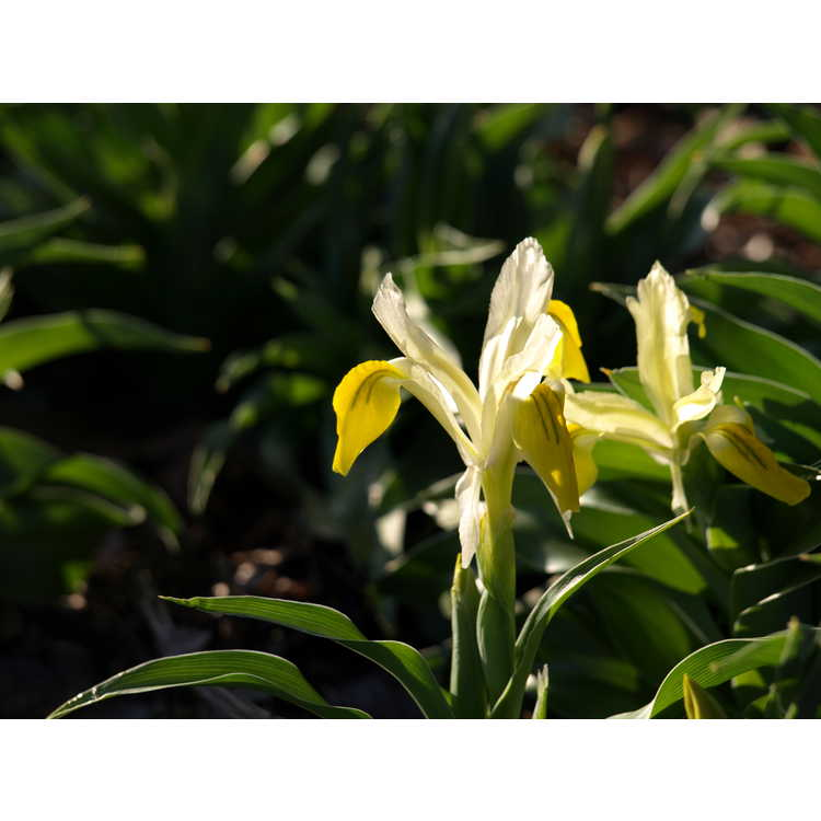 Iris bucharica - Bokhara iris