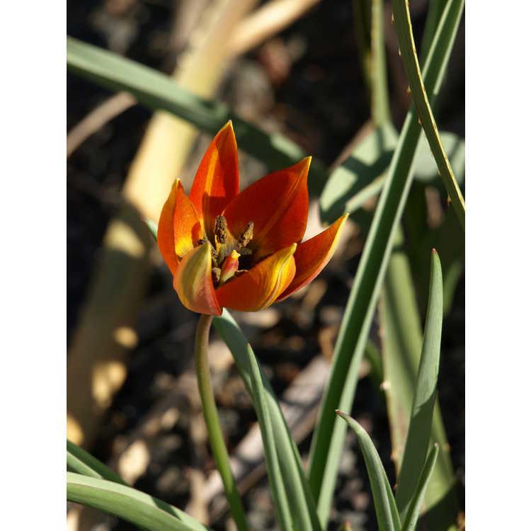 Tulipa orphanidea whittallii