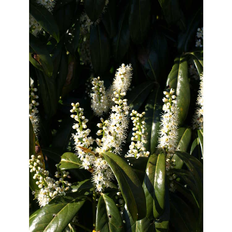 Prunus laurocerasus Batumi Rubies