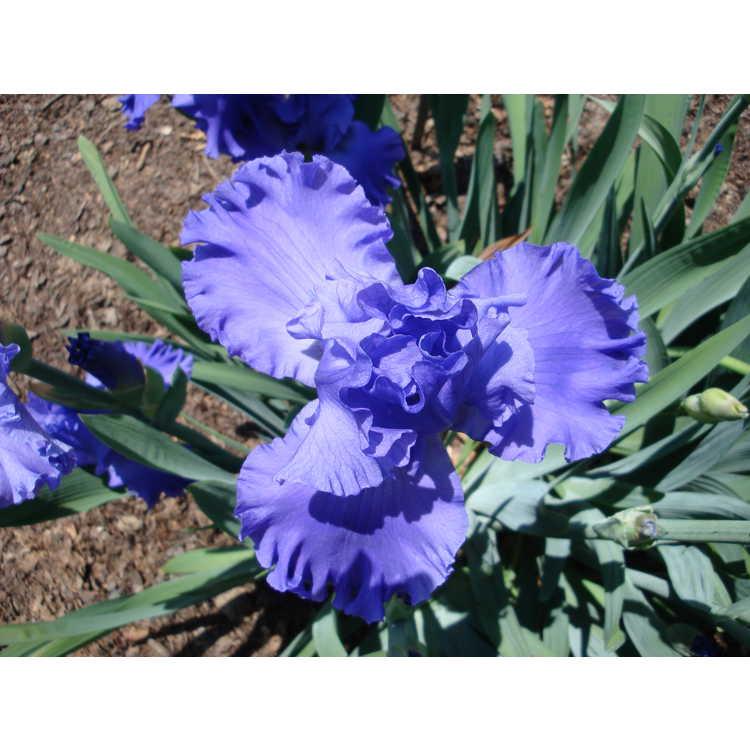 Iris 'Pure Sapphire' - tall bearded iris