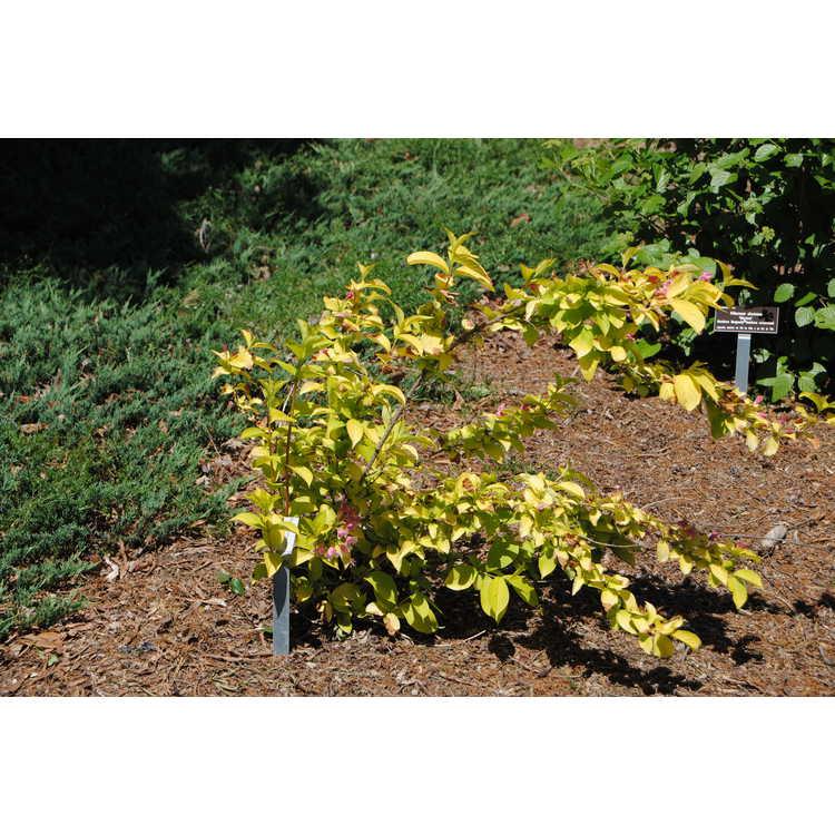 Weigela (yellow leaf)