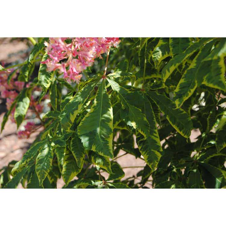 Aesculus ×carnea 'Variegata' - variegated red horse chestnut