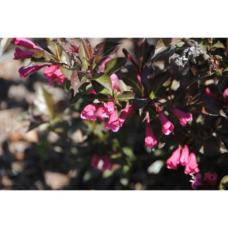 Weigela 'Bokrashine' - Shining Sensation purple leaf flowering weigela