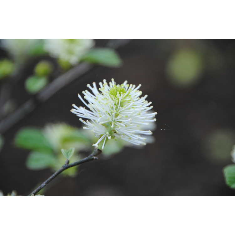 Fothergilla ×intermedia 'Blue Shadow'